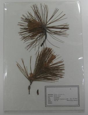 Pine, Eastern White, Pinus Strobus Herbarium Specimen