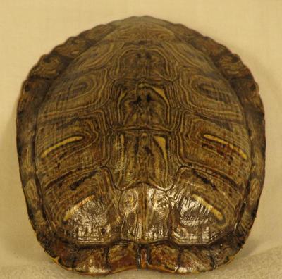 Turtle, Red Eared Slider Shell, Trachemys Scripta Elegans