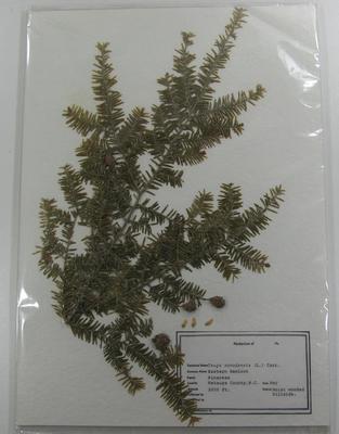 Hemlock, Eastern Tsuga Canadensis