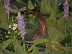 Bird Skins, Little Green Heron, Male