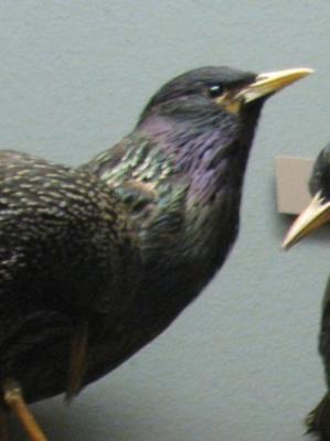 Bird Skin, Starling