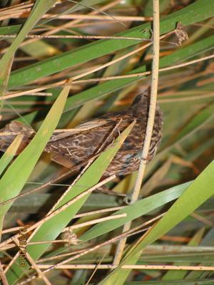 Mounted Birds, Virginia Rail, Male