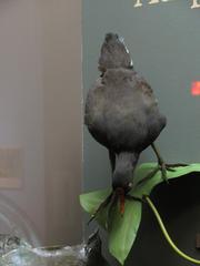 Bird Mount, Crested Flycatcher, Male