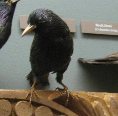 Bird Skin, Starling, Male