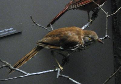Bird Mount, Brown Thrasher, Female