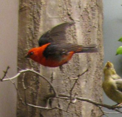 Bird Mount, Scarlet Tanager, Male