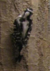 Bird Mount, Red-headed Woodpecker, Female