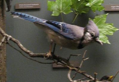 Bird Mount, Bluejay, Female