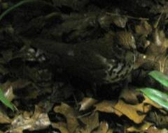 Bird Mount, Wood Thrush