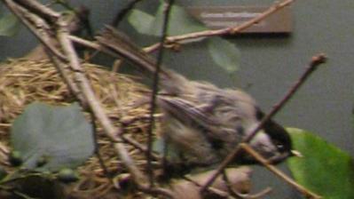 Bird Mount, Black-capped Chickadee, Female