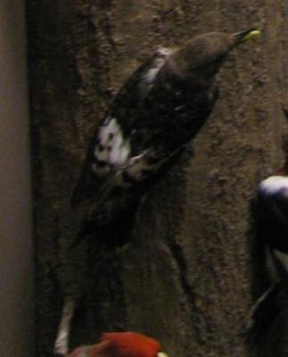 Bird Mount, Downy Woodpecker, Female