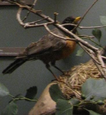 Bird Mount, Robin, Male