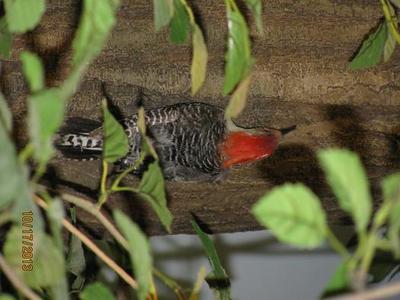 Bird Mount, Red-bellied Woodpecker, Male