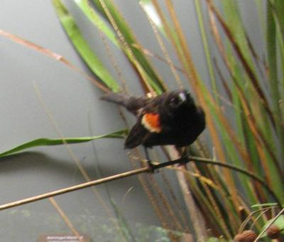 Blackbird, Red-winged, School Loan Collection