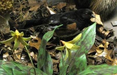 Bird Skin, Rufous-sided Towhee, Male