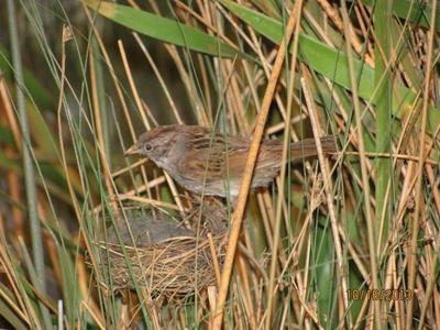 Bird Mount, Red - Winged Blackbird (female)