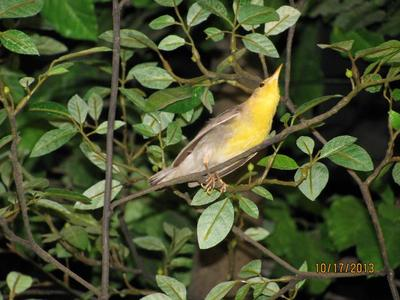 Bird Mount, Prothonotary Warbler, Female