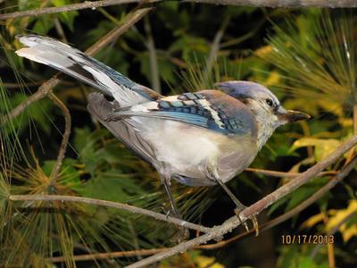 Bird Mount, Blue Jay, Female