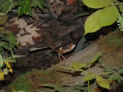 Bird Skin, Red-eyed Vireo