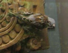 Bird Mount, English Sparrow, Female