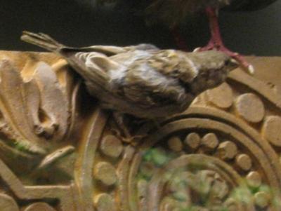 Bird Mount, English Sparrow, Male
