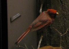 Bird Skin, Cardinal, Male