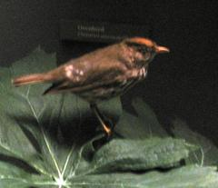 Bird Skin, Ovenbird, Female