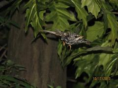 Bird Skins, Black-and-white Warbler (male)