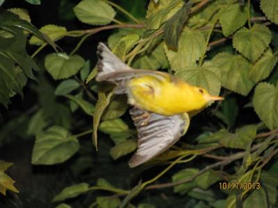 Bird Mount, Prothonotary Warbler, Male