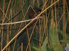 Bird Mount, Green Heron (male)