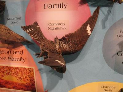 Common Nighthawk, Male, Mount
