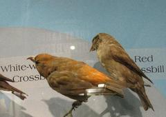 Red Crossbill, American Crossbill, Male, Mount