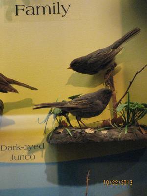 Dark-eyed Junco, Male, Bird Skins, Mount