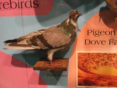 Rock Dove,  Pigeon, Mount