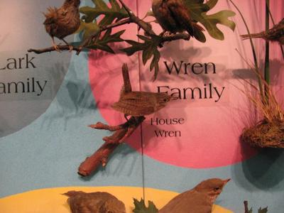 House Wren, Male, Mount