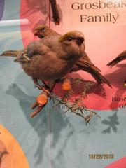 Pine Grosbeak, Female, Mount