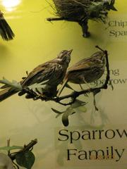 Song Sparrow, Male, Mount