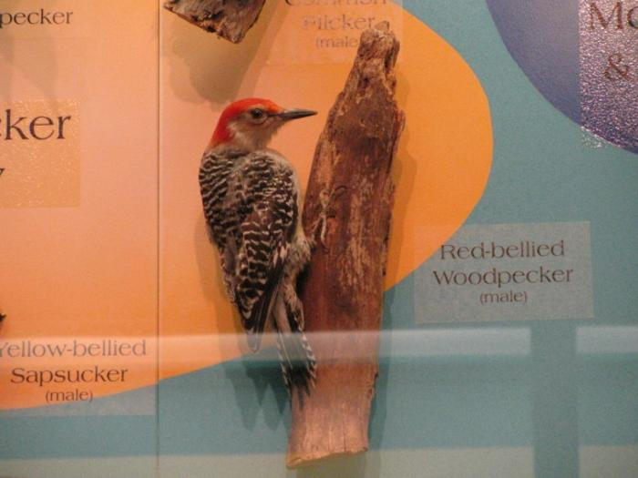 Red - Bellied Woodpecker,  Mount
