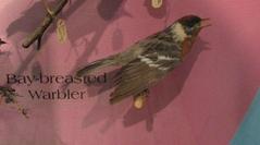 Bay Breasted Warbler, Mount