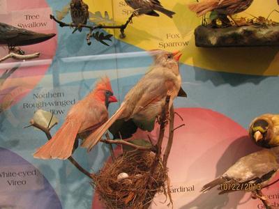 Cardinal, Cabinet Skins, Female, Mount