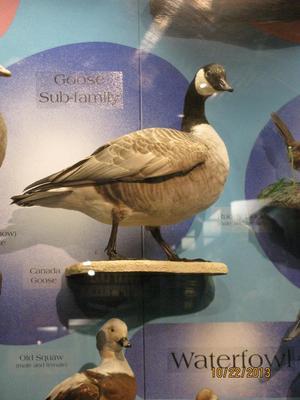 Canada Goose, Richardson's Goose, Bird Skins, Male, Mount