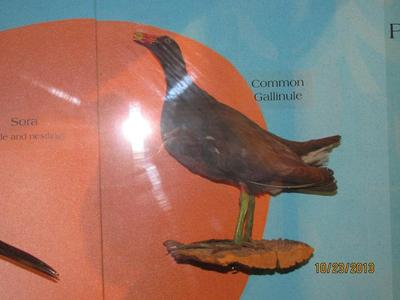 Common Florida Gallinule, Mount