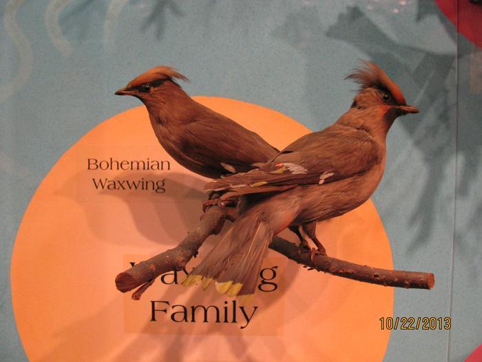 Bohemian Waxwing, Mount
