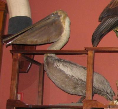 Pelican, Brown