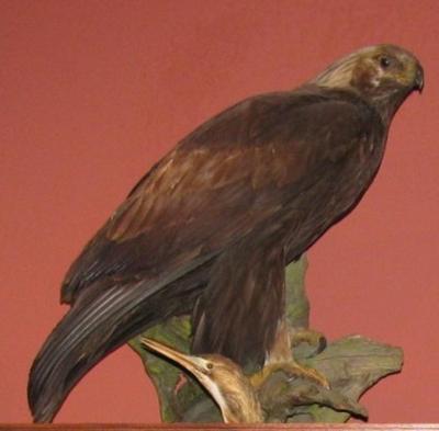 Cabinet Skins, Golden Eagle, Mount