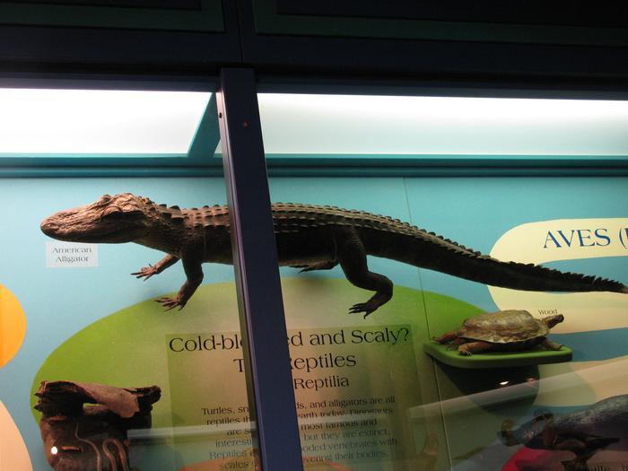 American Alligator, Juvenile