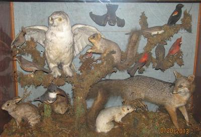 Natural History Case Containing Mounted Specimens: Seventeen  Michigan Birds, Rabbit, Muskrat, Fox Squirrel, Albino Fox Squirrel, Red Fox,  Spermophile, Mole