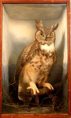 Owl, Great Horned, School Loan Collection