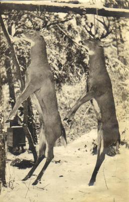 Photograph, Two Deer