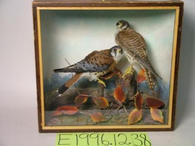 Hawk, Sparrow, School Loan Collection
